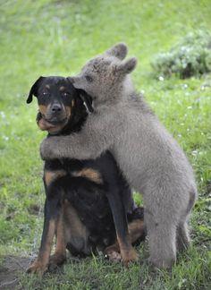 A baby bear giving a suspicious dog a kiss.