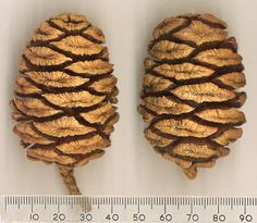 Giant Sequoia cones