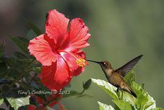 Hibiscus with hummingbird.