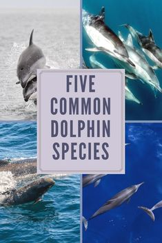 Dolphins are among everyone's favorite marine animals, living in all the world's oceans. Here are five of the most common dolphin species