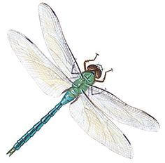 Amazing Dragonfly Insect - Dragonfly Facts, Images, Information, Habitats, News