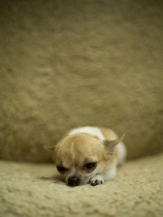 Did someone just say cute? This is the tiniest Chihuahua ever!