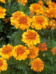 French Marigold (Planted in garden blocks and near the mailbox)  Light: Sun Type: Annual Height: 1 to 3 feet Width: 6-8 inches wide Flower Color: Orange, Red  Foliage Color: Chartreuse/Gold Seasonal Features: Fall Bloom, Summer Bloom Problem Solvers: Deer Resistant, Drought Tolerant Special Features: Fragrance, Good for Containers, Low Maintenance