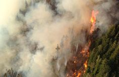 1,000-year-old Elaho Giant tree in danger from B.C. wildfire