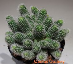 Rebutia fabrisii  nana Cactus Gallery