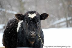 Calf In Snow | Minnesota . #Photography #cow #canon #canonrebelt3i #55-250mm #zoomlens #snow #winter
