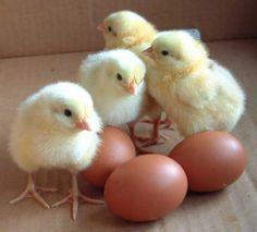 Raise Chickens Peeps Fresh Eggs