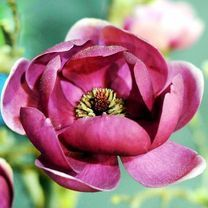 Magnolia Plant - Genie at Suttons Seeds