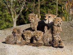 family - Cheetah mum with her 5 cubs. Made in 2007 but still one of my favorite photos.