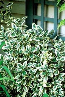 This, Euonymus Japonica aka Silver King, is the other thing I miss.  It gets so big, though, I have to let my HOA know before I plant a new one.