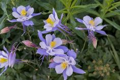 Colorado Columbine from Gothic Road, Crested Butte, Colorado Photographic Print by Howie Garber at Art.com