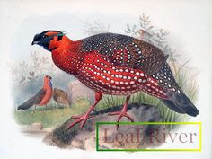 new to site Ceriornis satyra – Horned Tragopan