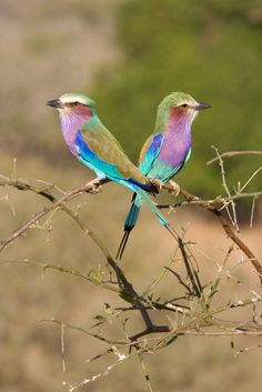 The Lilac-breasted Roller: