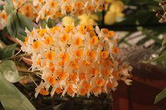 Orchids at Asheville Arboretum Show