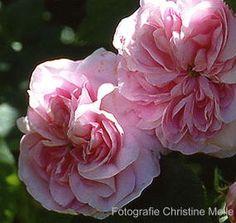 'Königin von Dänemark' (1816) Alba/Centifolia rose | Christin Mele