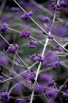 10 plants for winter gardens  Cam & I got this plant (Beauty Berry BUsh)  while on a trip to Williamsburg after 9/11.  We drove,.