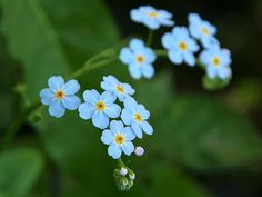 Forget-Me-Nots-one of my faves!!