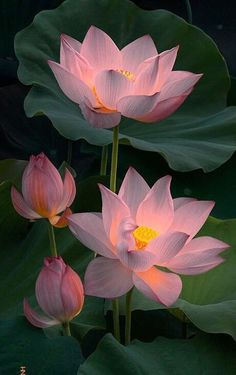 New Flowers Lotus Nature 46 Ideas Beautiful Flowers Wallpapers, Most Beautiful Flowers, Exotic Flowers, Pretty Flowers, Lotus Flower Wallpaper, Lotus Flower Art, Lotus Flower Paintings, Lotus Painting, Art Floral