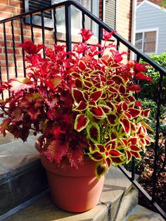 Coleus in pot with color pickup