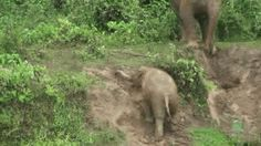 Muddy Baby Elephants Play Slip 'N Slide Like Pros