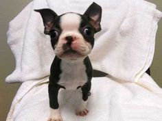 Miniature Boston Terrier Puppies | Mini Toy Boston Terrier Pups - Super Adorable in San Diego, California ...