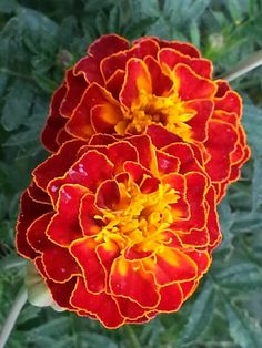 25 of the most beautiful Marigolds - color reference. Marigolds are a traditional Dia de Los Muertos flower