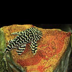 A King Tiger pleco - freshwater aquarium Aquarium Catfish, Cichlid Aquarium, Saltwater Aquarium Fish, Tropical Aquarium, Planted Aquarium, Tropical Fish, Fish Aquariums, Swordtail Fish, Pleco Fish