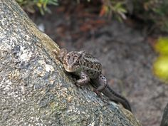 Jaszczurka zwinka - samiczka (niczym waran z Komodo)