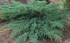 Image result for grey owl juniper