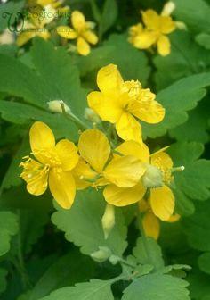 Glistnik jaskółcze ziele - Chelidonium majus
