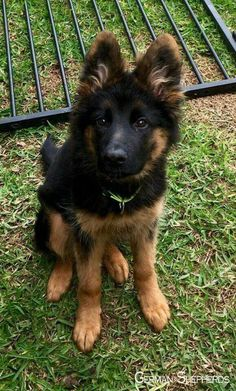 Wicked Training Your German Shepherd Dog Ideas. Mind Blowing Training Your German Shepherd Dog Ideas. Beautiful Dogs, Animals Beautiful, Bulldog Breeds, Cute Dogs And Puppies, Doggies, West Highland Terrier, German Shepherd Dogs, Baby German Shepherds, Cute Baby Animals