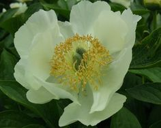 Nova - Very Early Hybrid, single, cream yellow flowers, fragrant, excellent garden plant, (Saunders, 1950). www.peonyshop.com