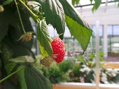 Masusta gorriak / Frambuesas / Raspberries #MeetAzurmendi www.azurmendi.biz
