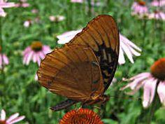 Diana Fritillary:  Arkansas State Butterfly
