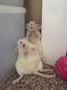 the faces of two rats who just had their wrestling match interrupted : RATS