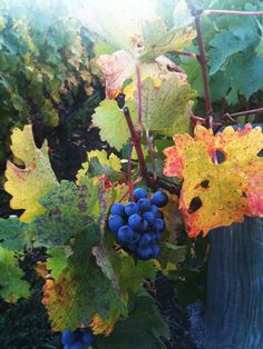 Red grapes on vine by Leigh Beisch