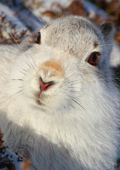 Oh my Goddess, I am in love. Scottish Mountain Hare (Lepus timidus scoticus) #rabbitlove #bunny #toocute