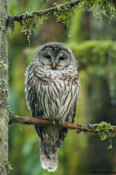Barred Owl In Coastal Forest by Stuart Clarke