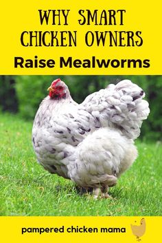 Genius backyard chicken owners raise mealworms for feeding chickens. Why? Because they're super healthy! Here's what you need to know!