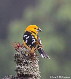 "bird-nerd-maeve: ""Yellow Grosbeak by campylopterus on Flickr. """