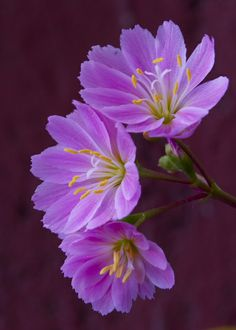 ~~Purple Lewisia by Scott Melville~~