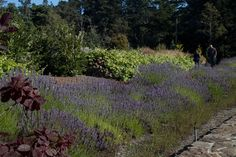 Lavender and grape vines dominate the hillside all summer. Photo: Sandy Scott