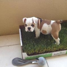 Potty Pads Are SO Last Year, Try A Fresh Patch Of Real Grass Instead!
