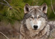 Innocent Wolf Killed After Visitors Break Zoo Rules. I am putting this under scary things, because a beautiful innocent animal was killed due to the stupidity of humans. We never learn.