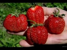 Состав: 1 стакан золы залить 1 Strawberry Garden, Small Farm, Garden Care, Begonia, Vegetable Garden, Raspberry, Vegetables, Flowers, Plants