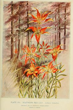 Southern Red Lily, lilium catesbaei   ...