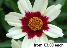 Coreopsis Snowberry