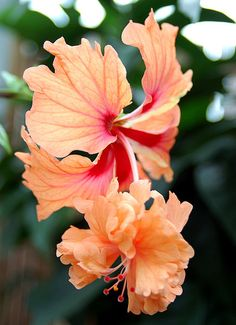 Hibiscus 'Orange El Capitolio'
