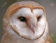 Barn Owl Face Vector Close up shot of a barn owl