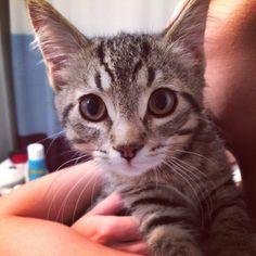 Ripley Cat | Pawshake